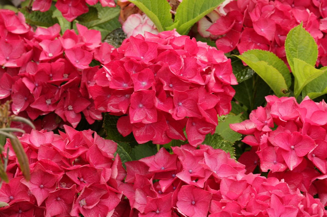 Hydrangea macrophylla 'Red Beauty'