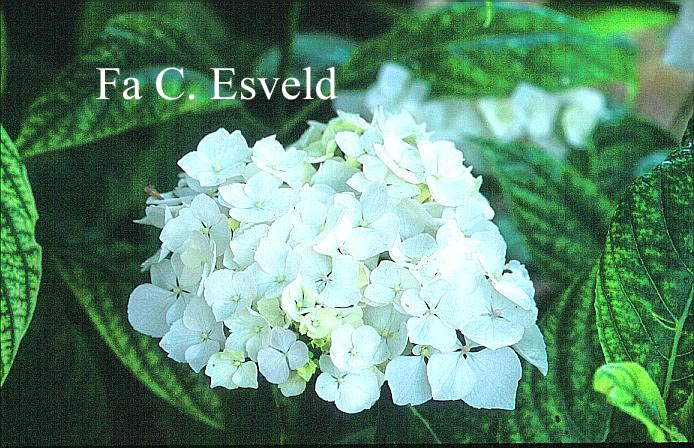 Hydrangea macrophylla 'Regula'