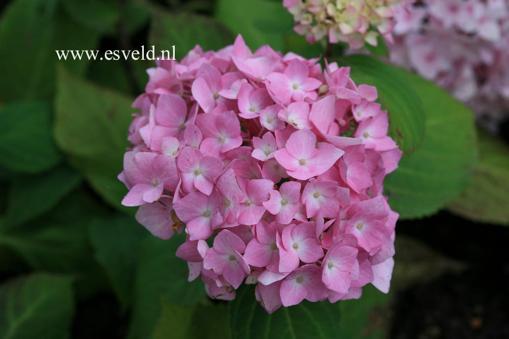 Hydrangea macrophylla 'Semperflorens','Bailmer' (ENDLESS SUMMER)