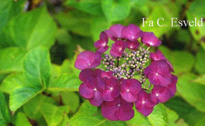 Hydrangea macrophylla 'Taube'