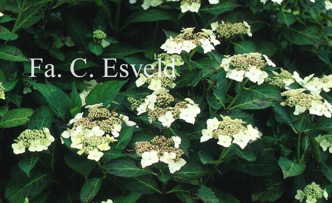 Hydrangea macrophylla 'Tokyo's Delight'