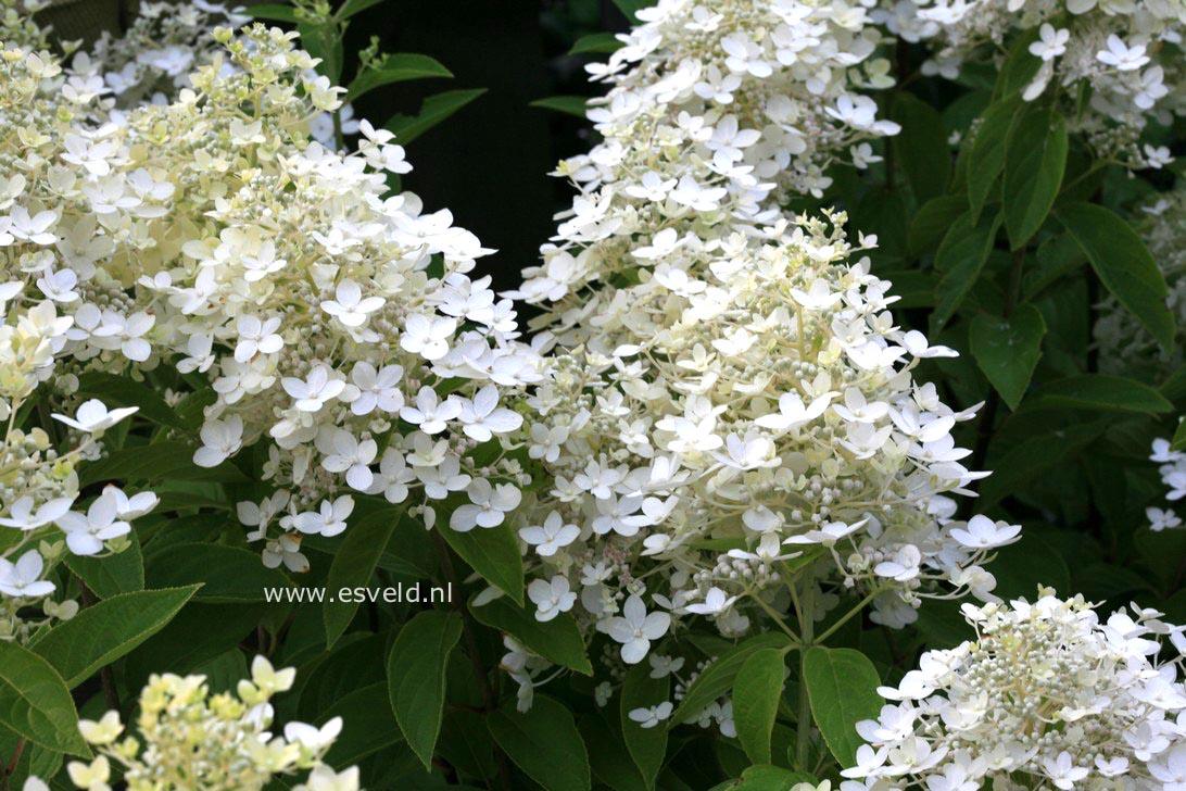 Hydrangea paniculata 'Vlasveld 02' (CONFETTI)