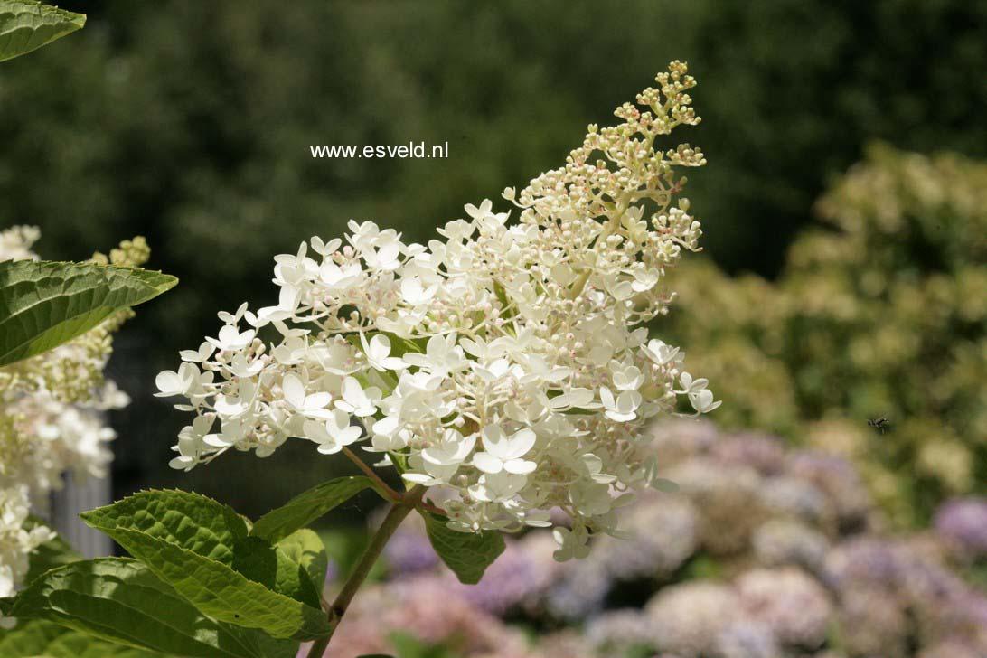 Hydrangea paniculata 'Webb's Variety'