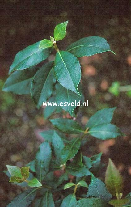 Hydrangea peruviana x serratifolia