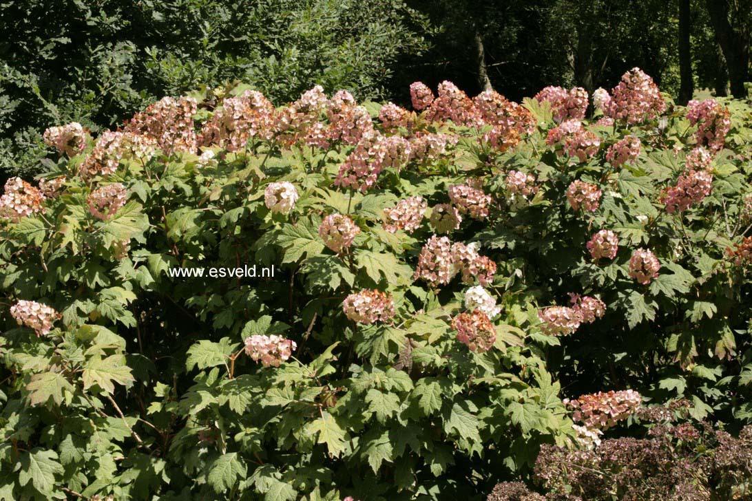 Hydrangea quercifolia 'White Prince'