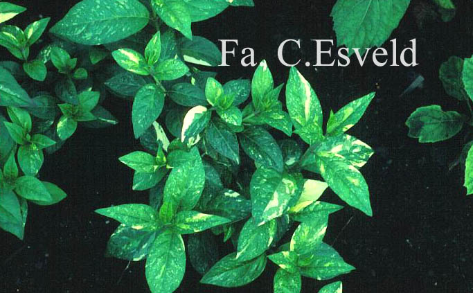 Hydrangea scandens 'Fragrant Splash'