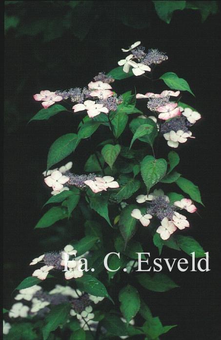 Hydrangea serrata 'Beni-gaku'