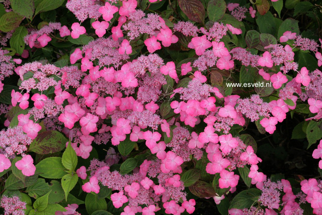 Hydrangea serrata 'Dolmyf' (AVELROZ)