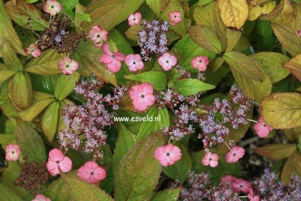 Hydrangea serrata 'Iyo-uzu-kaori'