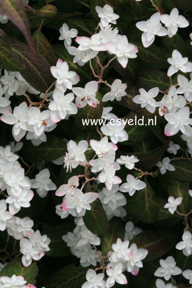 Hydrangea serrata 'Shiro-tae'