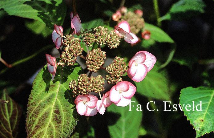 Hydrangea serrata 'Wryneck'