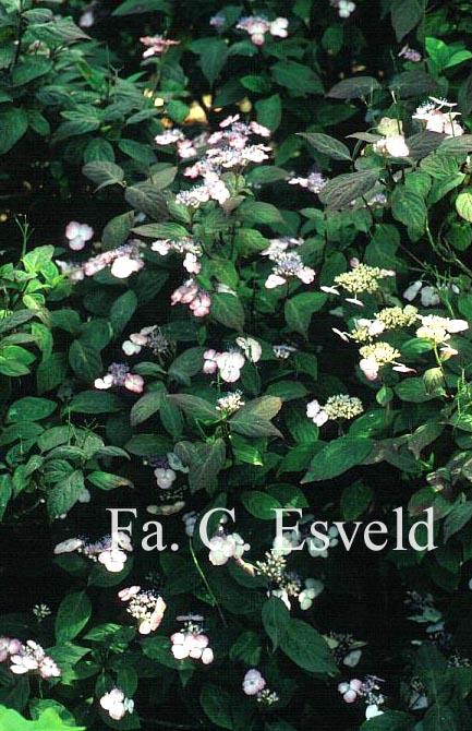 Hydrangea serrata oamacha