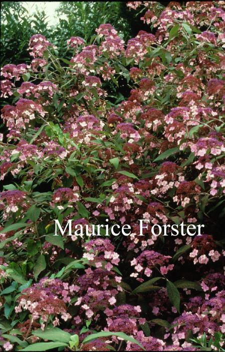 Hydrangea villosa 'Velvet Lace'