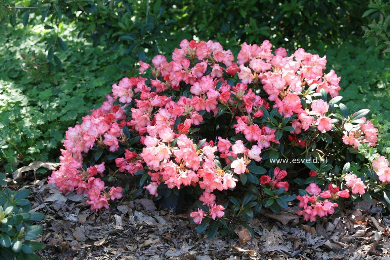 Rhododendron 'Bambi'