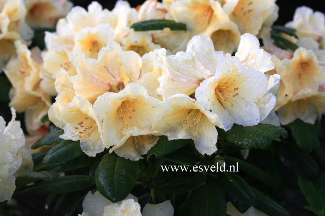 Rhododendron 'Karibia'