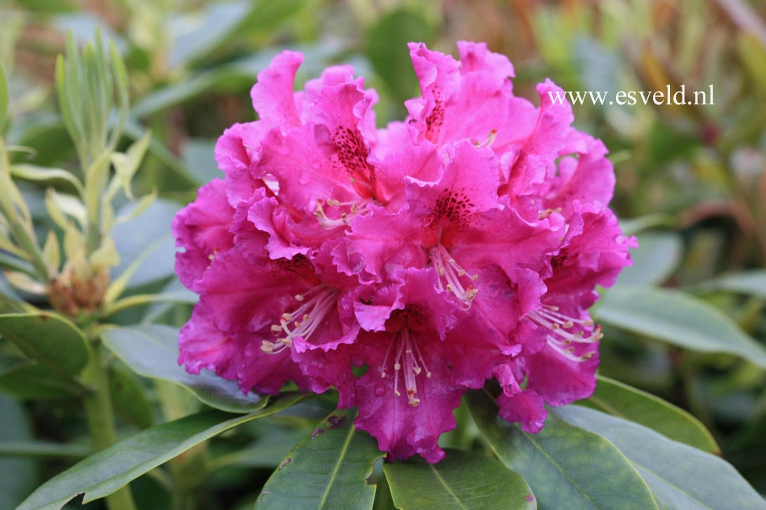 Rhododendron 'Lilofee'