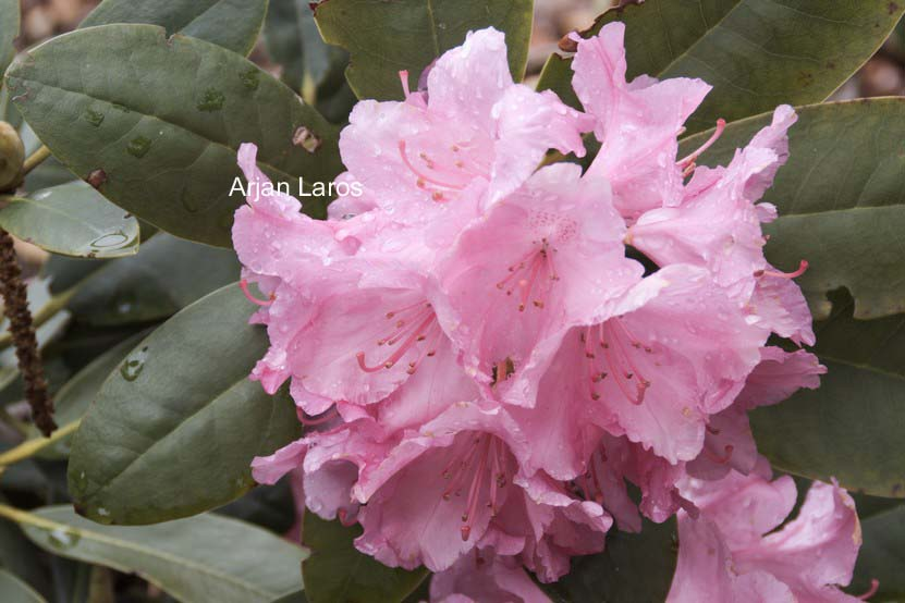 Rhododendron 'Lumina'