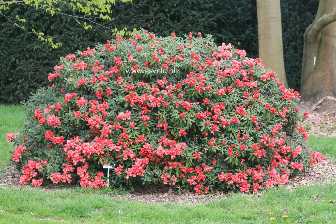 Rhododendron 'Shrimp Girl'