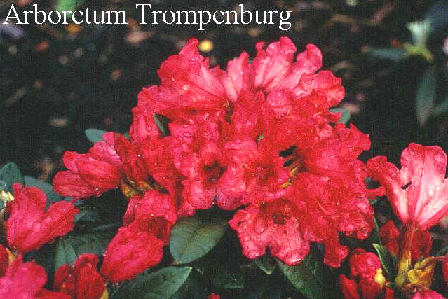 Rhododendron 'Titian Beauty'