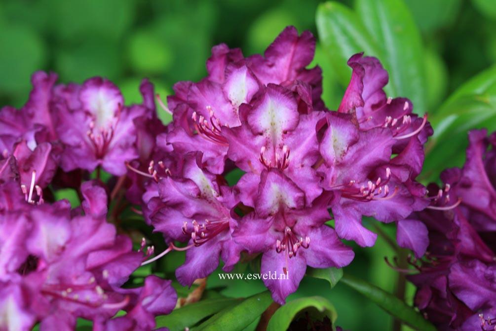 Rhododendron 'Tonika'