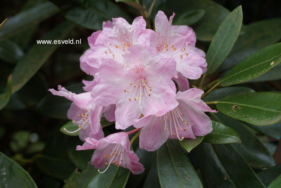 Rhododendron degronianum heptamerum