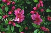 Rhododendron 'Chippewa' (Azalea)