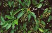Trochodendron