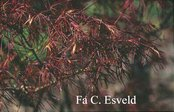 Acer palmatum 'Purpureum Angustilobum'