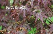 Acer palmatum 'Semi-no-hane'