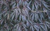 Acer palmatum 'Inaba-shidare'