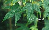 Acer campbellii