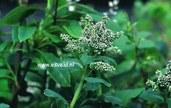Sibiraea