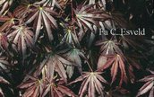 Acer palmatum 'Shohjoh-nomura'