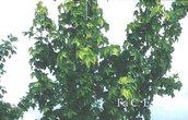 Acer pseudoplatanus 'Worley'