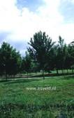 Acer campestre 'Arends'