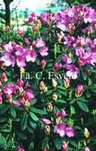 Rhododendron 'Jock'