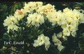 Rhododendron 'Trompenburg'