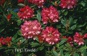 Rhododendron 'Clivia'
