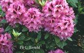 Rhododendron 'Kokardia'