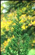 Pilgerodendron