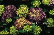 Hydrangea macrophylla 'Montfort Perle'
