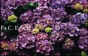 Hydrangea macrophylla 'Rosabella'