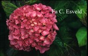 Hydrangea macrophylla 'Prima'