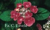 Hydrangea macrophylla 'Zaunkoenig'