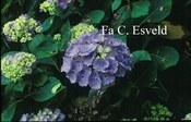 Hydrangea macrophylla 'Mein Liebling'