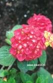 Hydrangea macrophylla 'Blue Buck'
