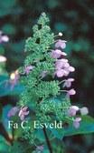 Hydrangea paniculata 'Great Escape'