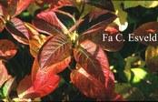 Hydrangea macrophylla 'Marathon'