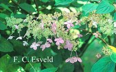 Hydrangea paniculata 'Melody'