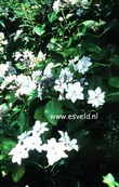 Hydrangea macrophylla 'Miyake-shin-yae'